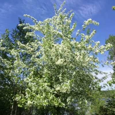 Alice's wild crabapple tree, a restaurant for many a resplendent bird