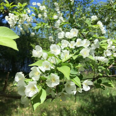Alice's apple tree, Queen of the Plant World every May