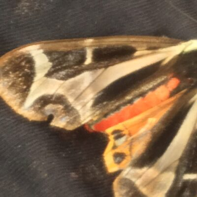 The Venomous Butterfly, Guatemala